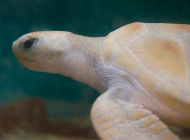 Litoral Norte: Tartaruga rara é pesquisada em Praia do Forte; visitação é aberta ao público