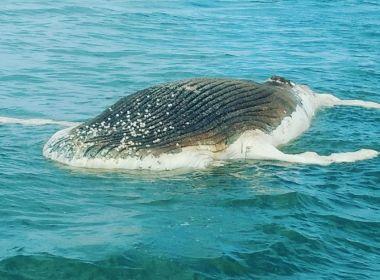 Porto Seguro: Filhote de baleia é encontrado morto em praia movimentada