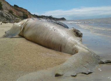 Prado: Jubarte grávida é encontrada morta em praia