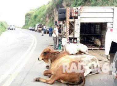 Itapebi: Caminhão tomba e deixa 6 bois mortos após acidente na BR-101