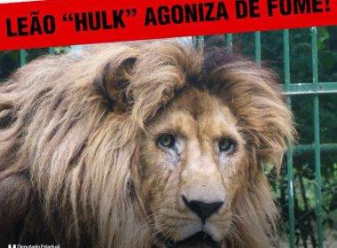Itapetinga: Marcell Moraes acusa prefeitura de deixar leão sem comida