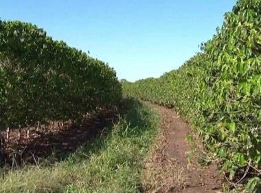 Oeste: Agricultores estimam perda de 10% na safra do café