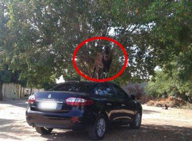 Juazeiro: Homem tem carro amassado após ação de bode 'alpinista'