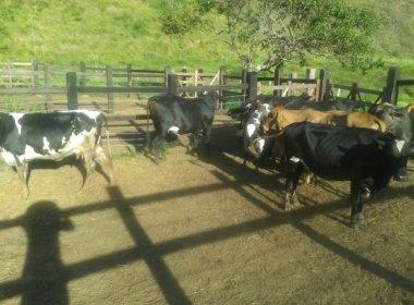 Maiquinique: Polícia prende homem e resgata gado furtado avaliado em R$ 50 mil