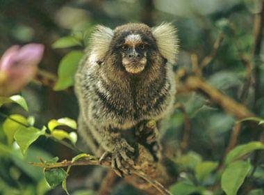 Feira de Santana: Confirmado segundo caso de macaco com febre amarela na cidade