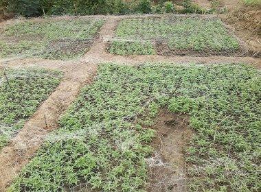 Curaçá: Plantação com 40 mil pés de maconha é destruída pela polícia