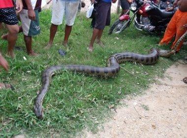 Ipiaú: Sucuri de 7 metros é encontrada próxima a escola
