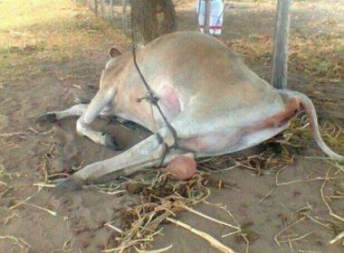 Vaca é violentada e morta na zona rural de Cruz das Almas