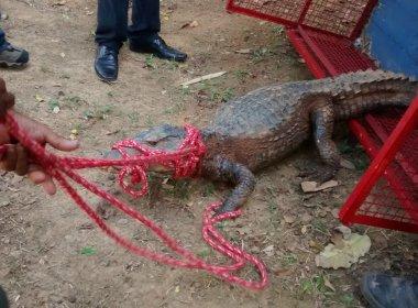 Jacaré de dois metros é capturado dentro de campus da Universidade Católica em Pituaçu