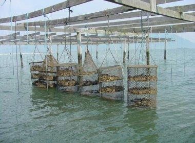 Por contaminação com toxina, produção de ostras é suspensa no litoral catarinense