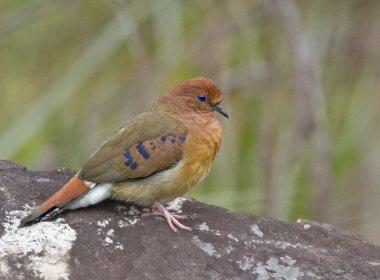 Após 75 anos desaparecida, espécie de ave rara é redescoberta no Brasil