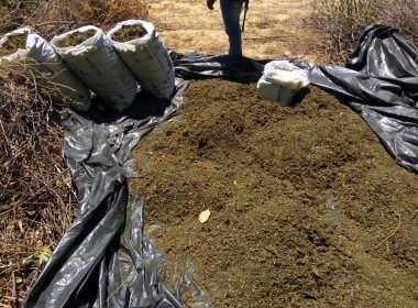 Curaçá: Operação conjunta destrói mil pés de maconha