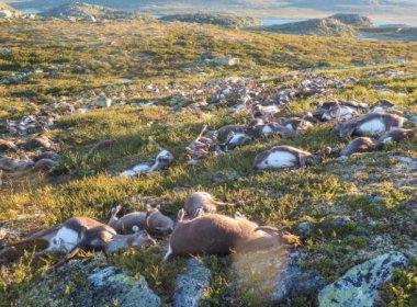 Raio mata mais de 300 renas durante tempestade na Noruega