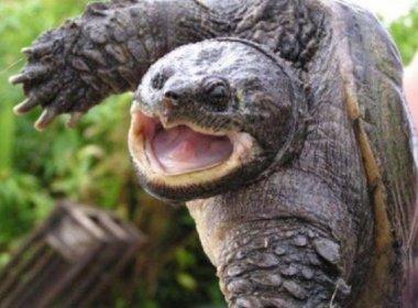 Tartaruga morde pênis de homem como 'vingança'; veja vídeo