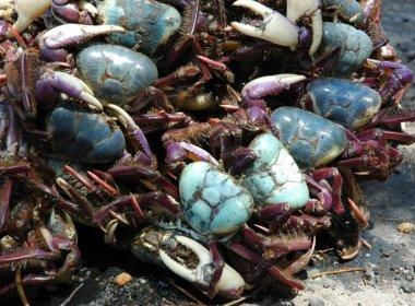 Decreto proíbe caça e venda de caranguejo-açu na Bahia e em outros 9 estados