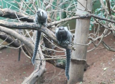 Secretaria municipal confirma febre amarela em seis macacos encontrados em Salvador