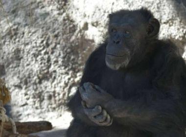 Chimpanzé consegue habeas corpus para viver em santuário brasileiro