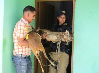 Agentes resgatam filhotes de veados criados ilegalmente Paratinga