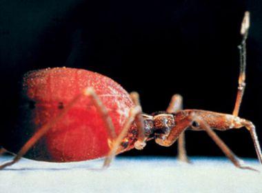 Doença de Chagas: Risco de transmissão é alto em 23% das cidades baianas
