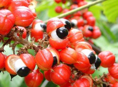 Estudo conclui que guaraná tem maior potencial antioxidante do que chá verde