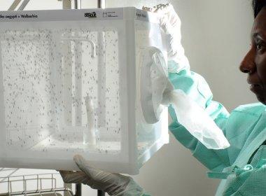 Uso de Aedes com bactéria para combater dengue e zika será expandido no Brasil