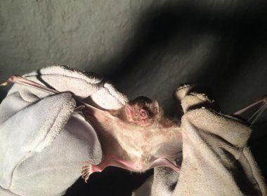 Morcegos atacam 17 pessoas no bairro do Santo Antônio Além do Carmo