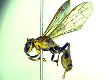 Cientistas estimam que veneno de vespa possa ajudar no combate às superbactérias
