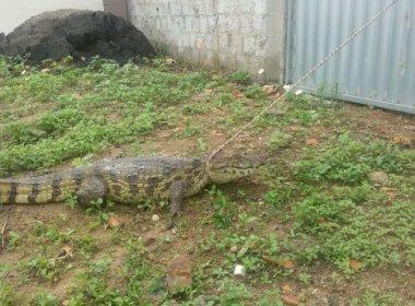 Jacaré surge em porta de residência em Feira de Santana e assusta moradores