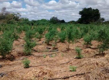 Curaçá: Polícia incinera 24 mil pés de maconha; donos de fazenda fogem antes da ação