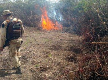 Barra: Operação policial destrói 6,8 mil pés de maconha no povoado de Ibiraba