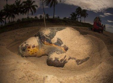 Desova de tartarugas marinhas bate recorde e Projeto Tamar conta 4,4 mil ninhos