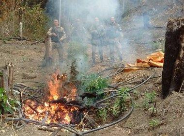 Polícia incinera 5 mil pés de maconha em fazenda no interior da Bahia
